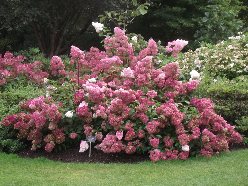 hydrangea paniculata 39 renhy 39 vanille fraise. Black Bedroom Furniture Sets. Home Design Ideas